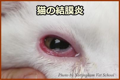 猫の結膜炎~炎症部分が肥厚して外からでも充血部を