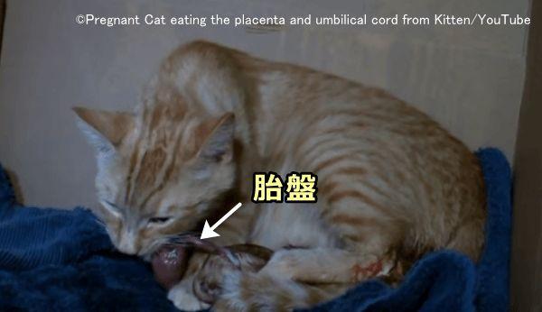 の 期間 猫 妊娠