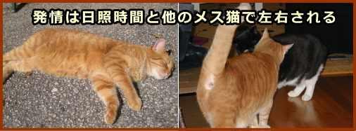 【恋の季節】猫の発情期っていつなの?【お見合いの方法】   ねこネコ.ねっと 猫の飼い方