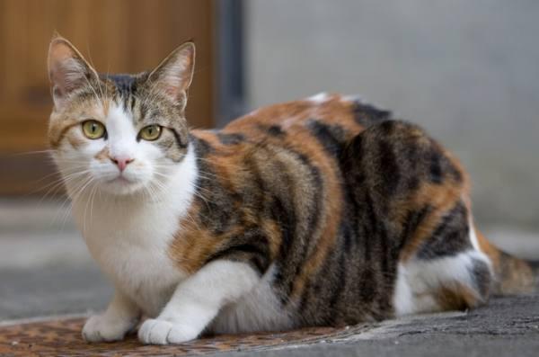 三毛猫の画像 p1_6