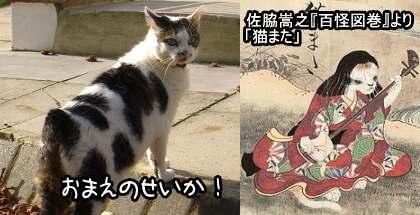 日本古来の猫股伝説が、短いしっぽの猫を選択繁殖させる