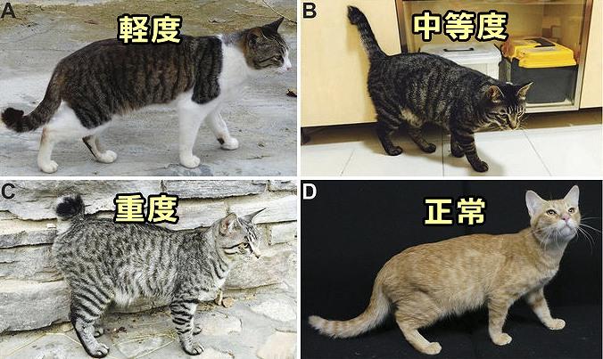 猫で見られる短曲尾のバリエーション一覧