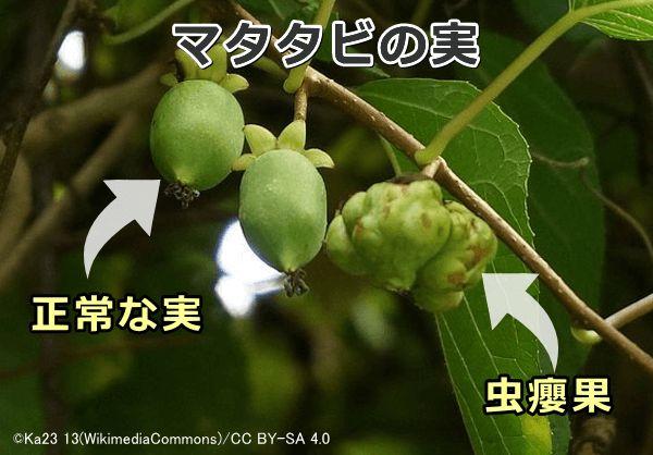 漢字 またたび