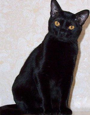ボンベイ(bombay)~歴史・特徴から性格・お手入れの仕方・病気まで、写真と動画で猫の種類を知る